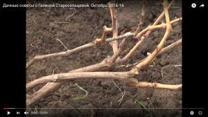 dachnye-sovety-s-galinoj-staroselcevoj-oktyabr-2016-20