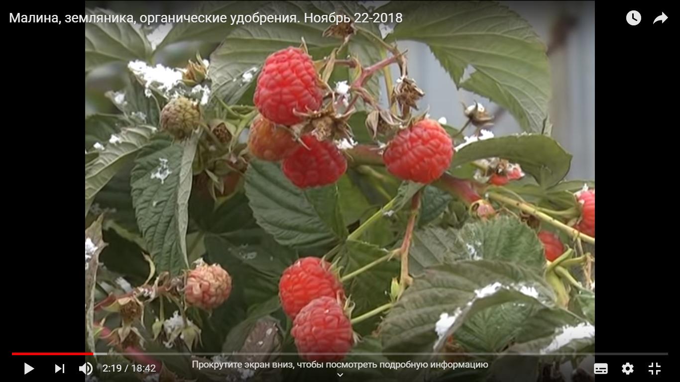 Малина, земляника, органические удобрения. Ноябрь 22-2018